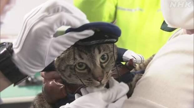 Японская кошка стала начальником полиции в благодарность за спасение человека