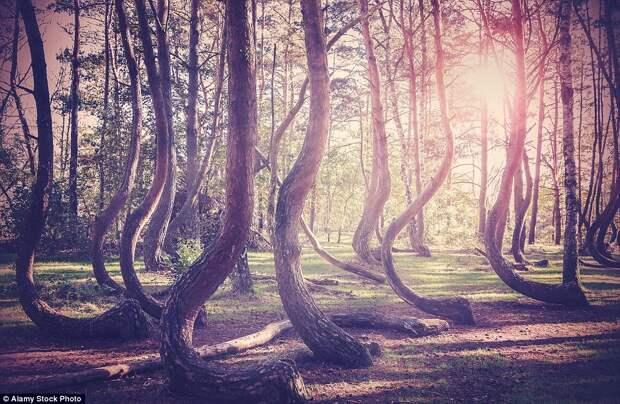 Деревья с искривлёнными стволами