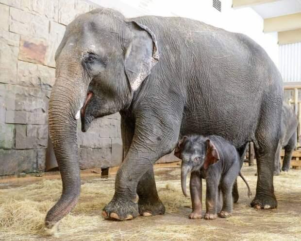 В берлинском зоопарке на Новый год родился слоненок