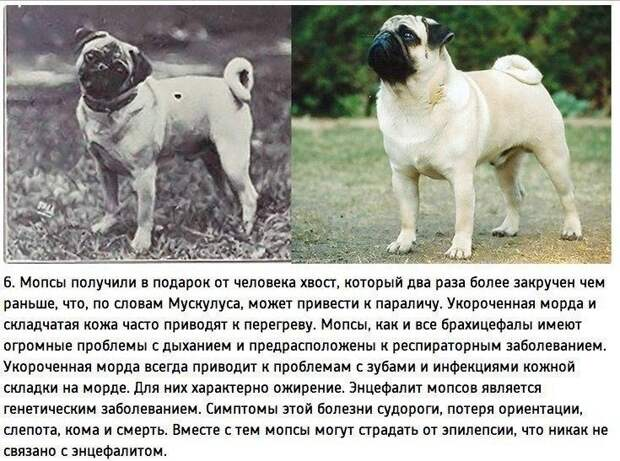"""К чему привели 100 лет """"улучшения"""" породистых собак_daypicture.net"""