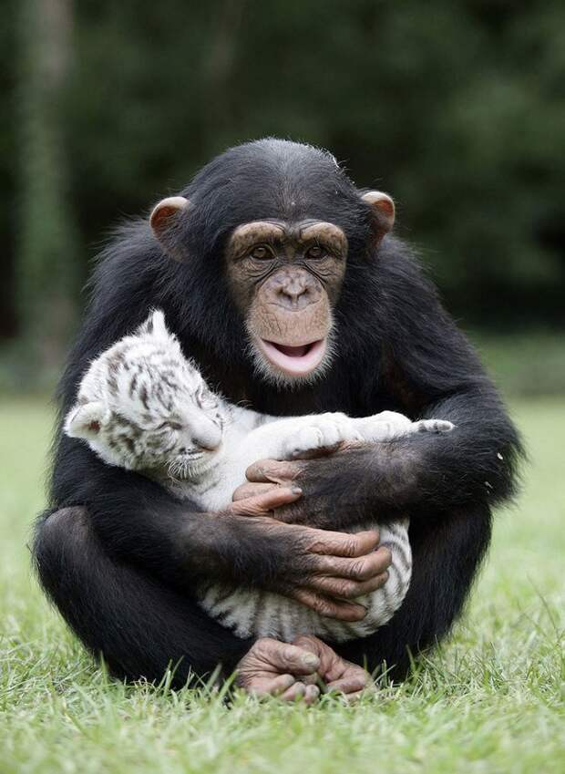 шимпанзе и тигрёнок