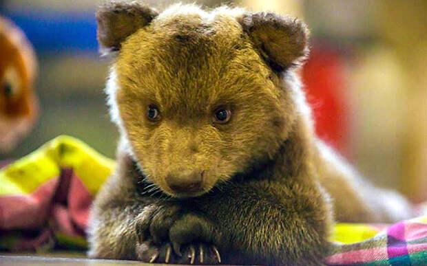 Валентина - маленькая медведица гризли в зоопарке в столице Гватемалы
