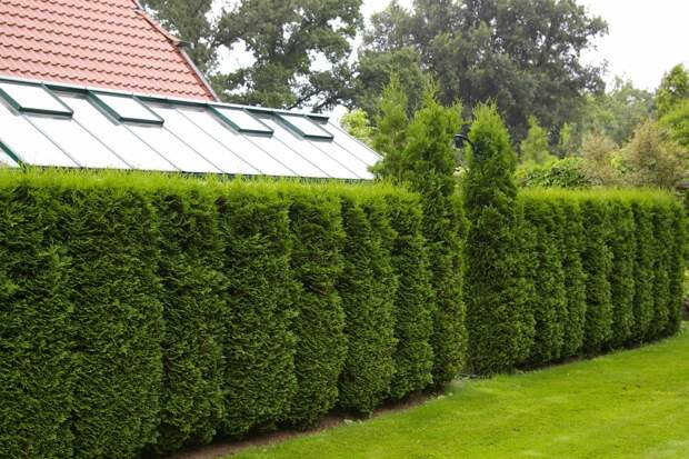 5 причин выращивания туи в качестве зеленого забора