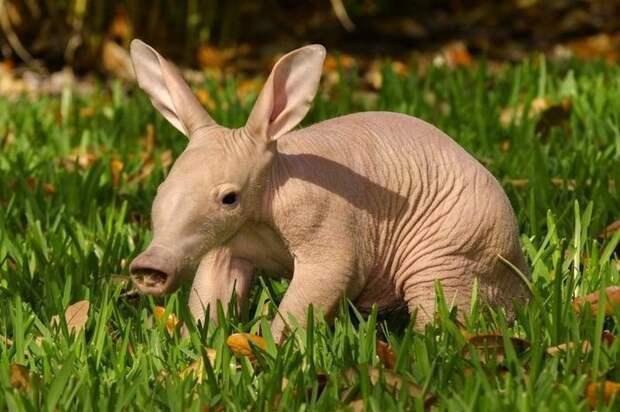 17. Малыш трубкозуба детеныш, животные