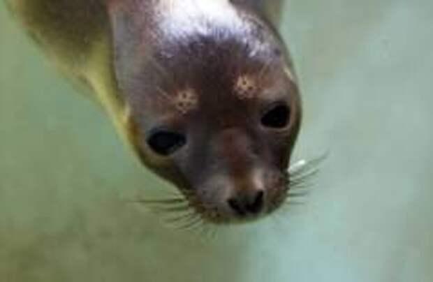 Британцы посчитали тюленей, родившихся в Темзе