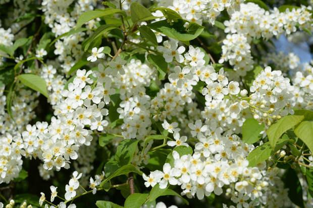 Цветущая черёмуха весна, деревья, цветы