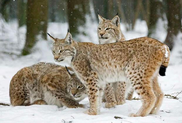 Евразийская рысь L.lynx