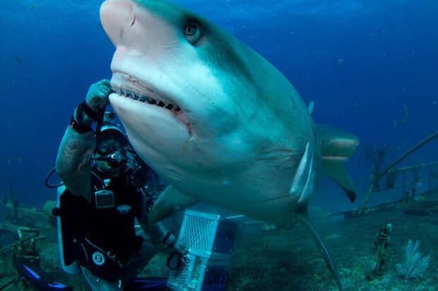 7. Карибская рифовая акула, которая уже устала от того, что вы называете её белой акулой. акулы, животные, обожание, рыбы, факты