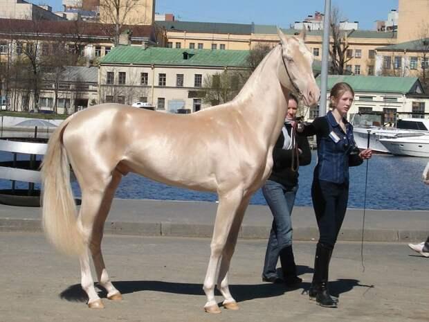 Ахалтекинская лошадь животные, красота, лошади