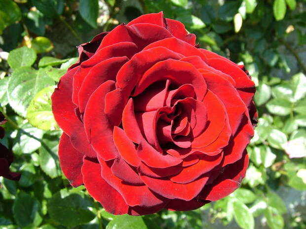 Розы занимают особенное место в саду