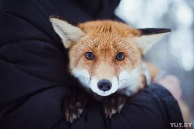 У парня из Гомеля живет рыжая домашняя лиса  животные, история, лиса, сделай сам
