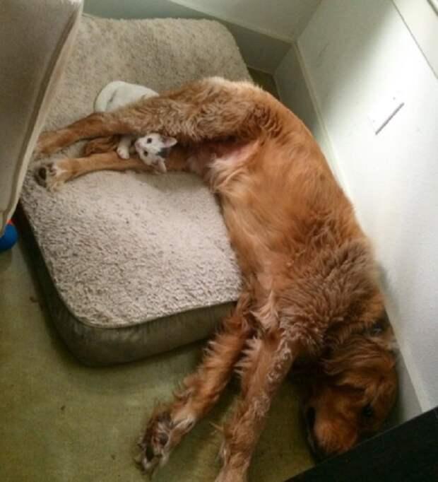 Котик спит с собакой