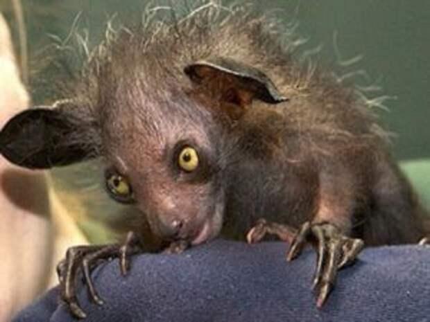 Мадагаскарская руконожка ай-ай