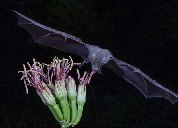 Летучая мышь крупным планом (Juan DeLeon, США).