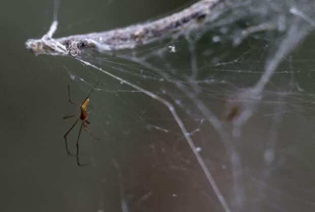 Огромные паутины на деревьях американского парка (5 фото)