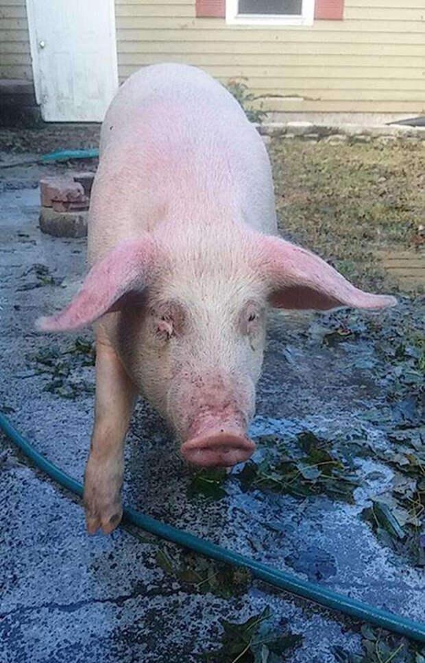 Свинья бежала через город, как ни в чем не бывало.