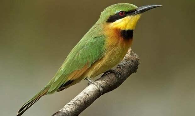 Медоуказчик-Птица