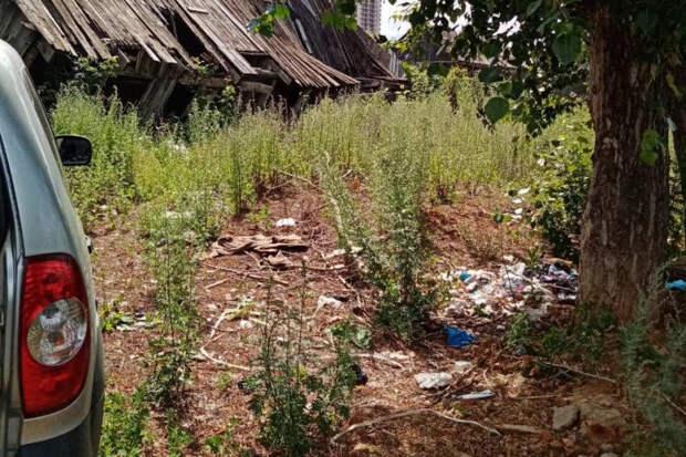 Плантацию конопли нашли на территории заброшенного дома в Ижевске