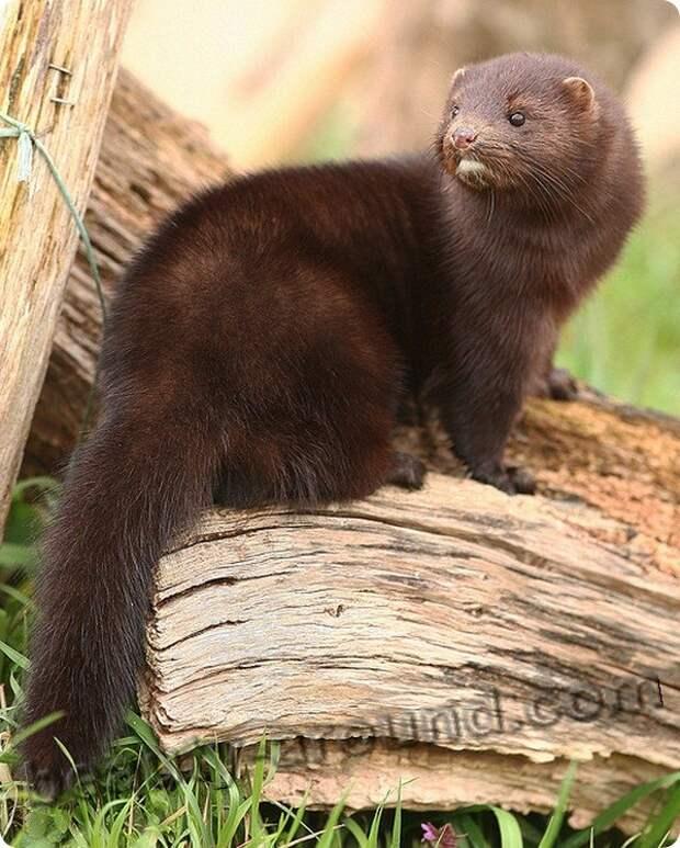Норка фото животных с мехом из которых шьют норковые шубы