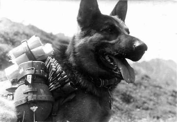 «Собачья атака»: как 150 служебных псов остановили наступление фашистов