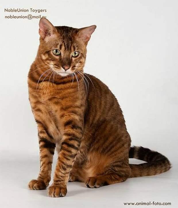 Тойгер (Toyger cat), кошки породы кошек фото картинка