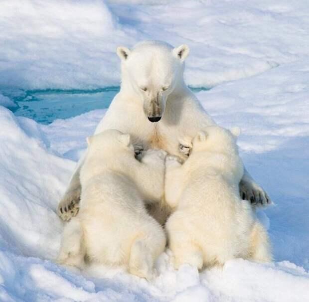 Белая медведица с медвежатами детеныши, дети, животные, забота, звери