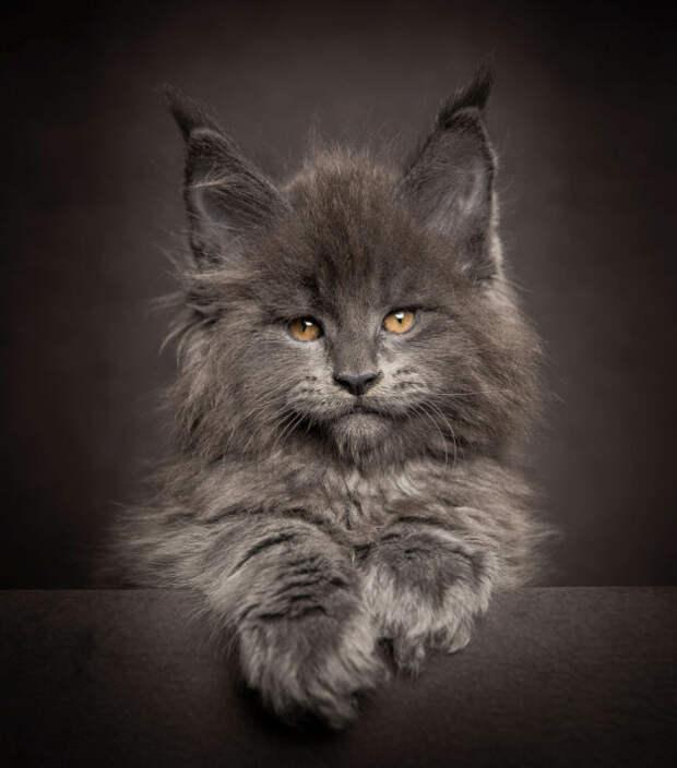 Львы среди котов: Фотографии божественно красивых котов породы мейн-кун