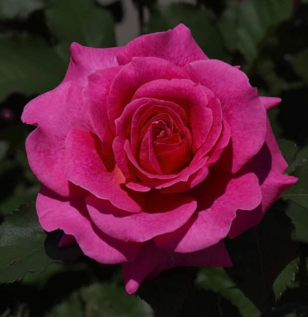 И снова все о розах.. розы. Обсуждение на LiveInternet - Российский Сервис Онлайн-Дневников