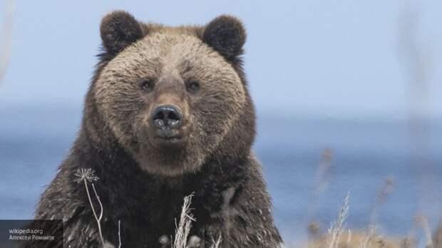 Медведь составил компанию магаданцу во время утренней пробежки