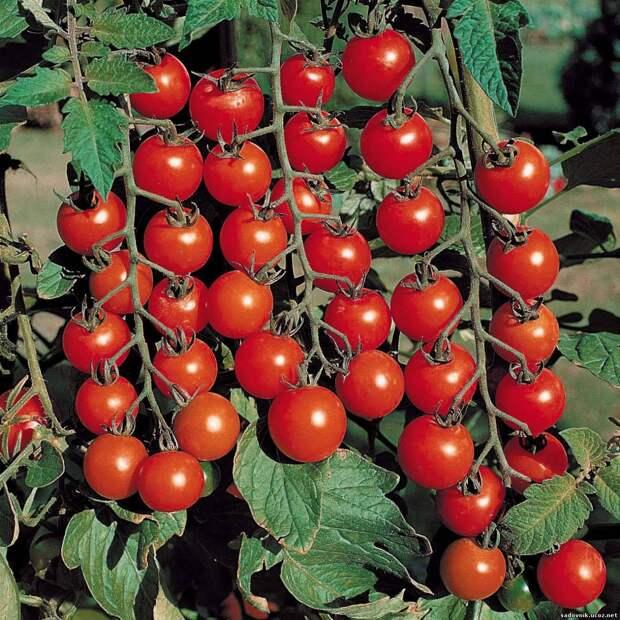 5 отличий в уходе за томатами-черри