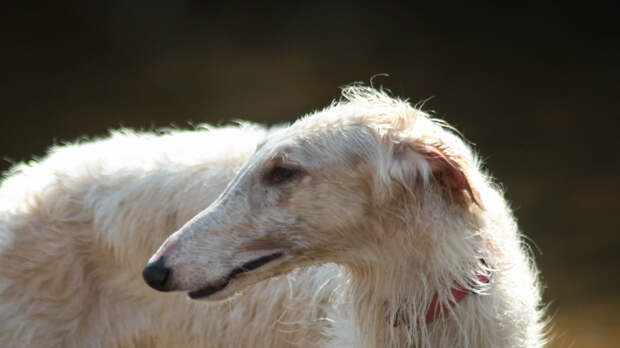 Кишечную инфекцию у собак в Великобритании вызвал коронавирус CeCoV