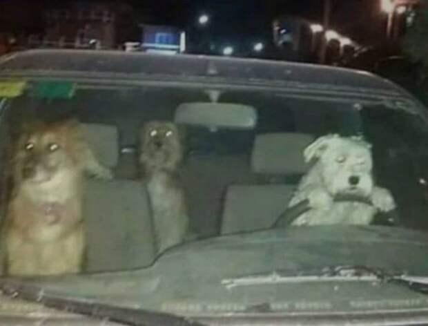Собаки в автомобиле