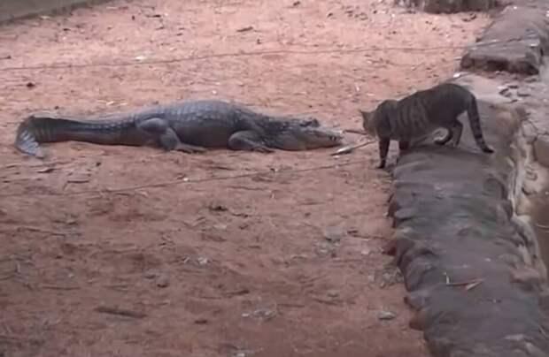 Видео: Как кот украл рыбку у спящего крокодила и другие занятные моменты с животными