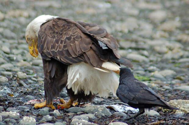 crows-tease-animals-peck-bite-tails-trolls-corvids-1