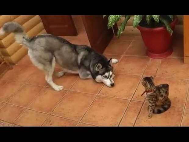 Умилительная подборка знакомств взрослых собак и маленьких котят