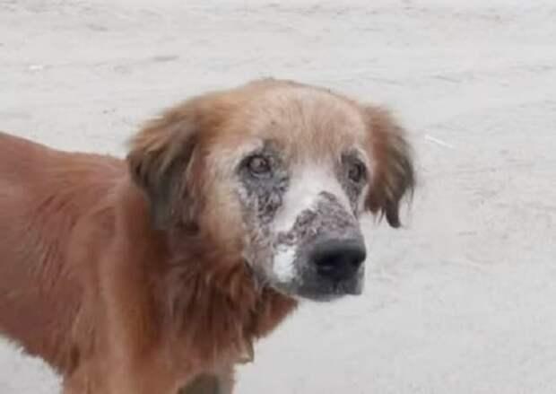 Пес в ранах