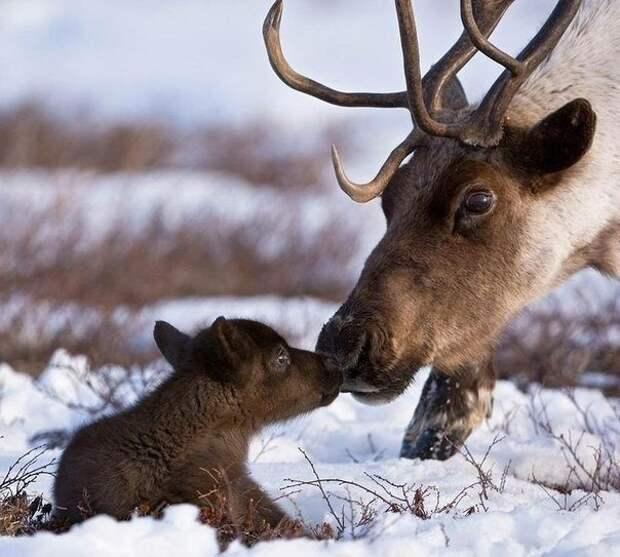 Северные олени детеныши, дети, животные, забота, звери