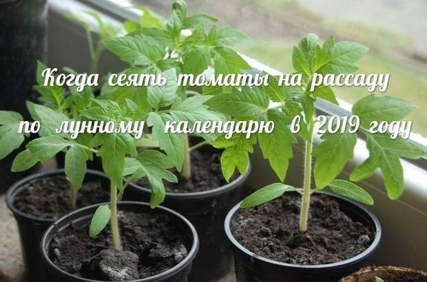 Полезные советы. Когда сеять томаты на рассаду по лунному календарю в 2019 году