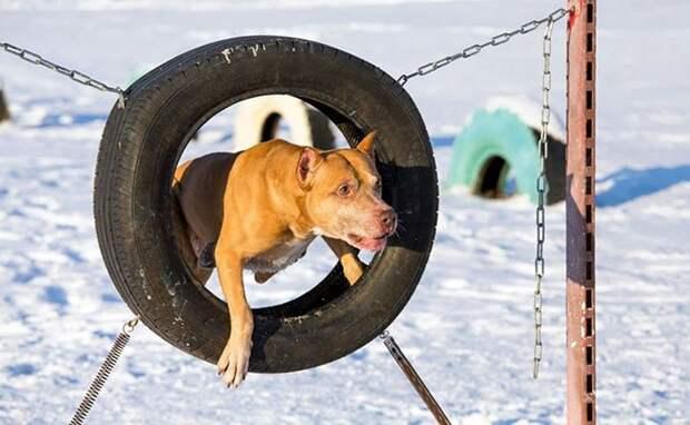 Американский питбультерьер животные, собаки