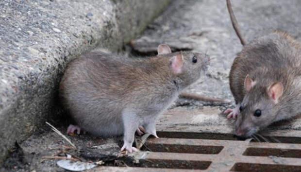 Петрозаводчане шокированы визгом крыс со стихийной свалки под окнами