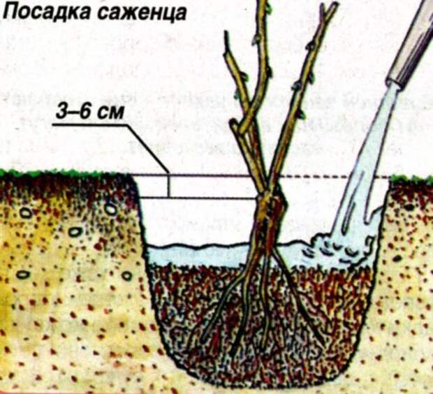 4920201_posadkasazhencarozy500x455 (500x455, 55Kb)