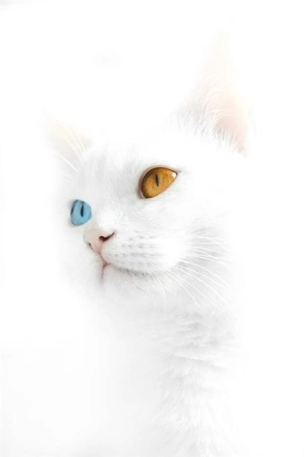 """Кошки с разными глазами. . """" Байки, прикольные истории, рассказы, хохмы и анекдоты. . Смешные истории из жизни."""