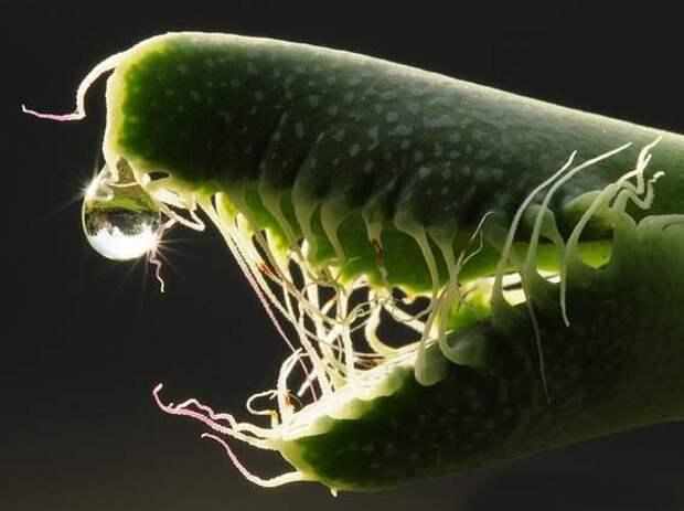 Faucaria TIGRINA (Фаукария) - Интернет-магазин - Адениум дома: от семян до растений. . Выращивание и уход.