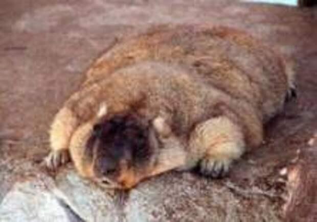 В Московском зоопарке уснули сурки и еноты