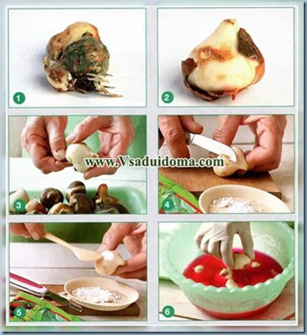 Как ПРАВИЛЬНО выбрать луковицы луковичных цветов