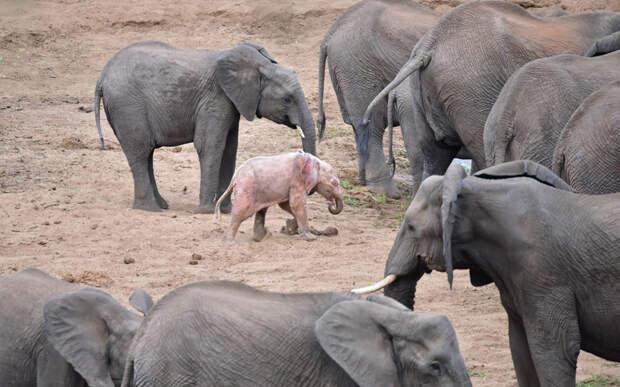 Слонёнок-альбинос