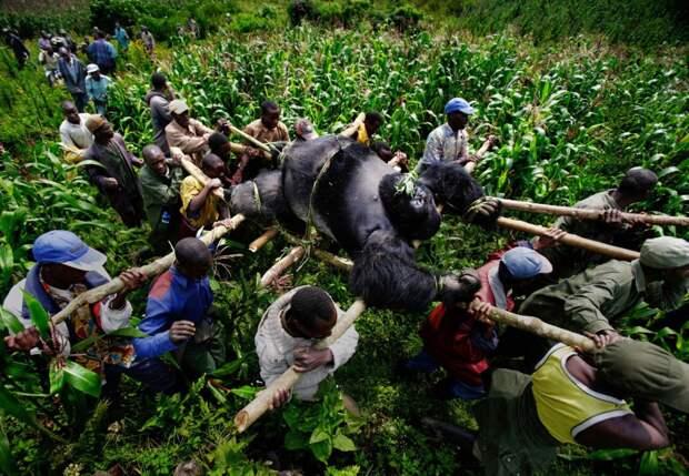 Туша гориллы