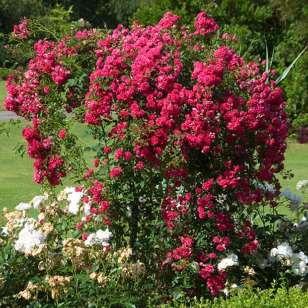 4497432_rosesingardeninspiration22 (450x450, 200Kb)