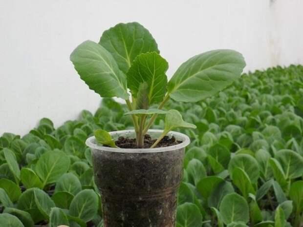 Как понять поспела рассада капусты для пересадки в почву или еще нет?