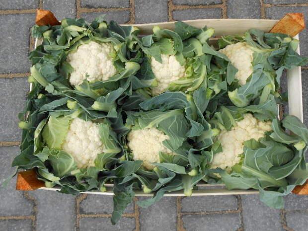 САД, ЦВЕТНИК И ОГОРОД. Как вырастить цветную капусту сочной и вкусной